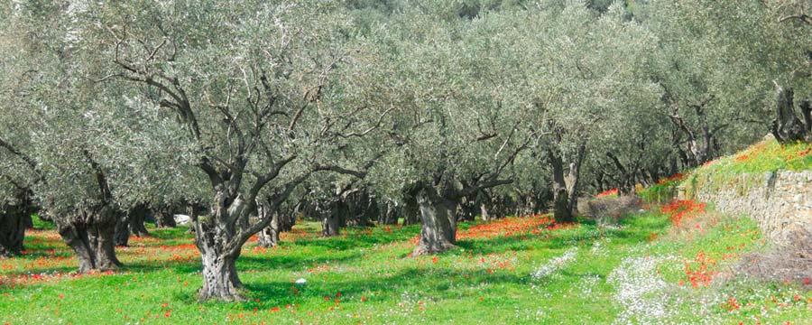 Naxos olive groves